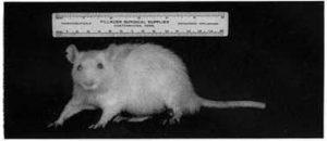 Крысу кормили только сырым коровьим молоком. Наблюдалось нормальное развитие, здоровая шерсть. (1935-40 Randleigh Farm Rat Studies)