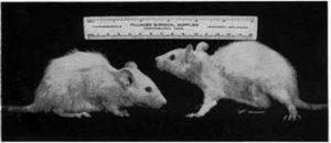 Этих крыс кормили только пастеризованным коровьим молоком. Наблюдалось слабое развитие, лысые участки шерсти из-за дефицита витамина B-6 (1935-40 Randleigh Farm Rat Studies)